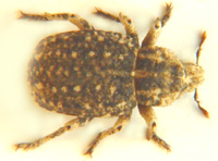 Weevil sp