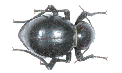 Psammodes solieri.
