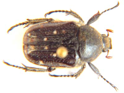 Cetonia sp.