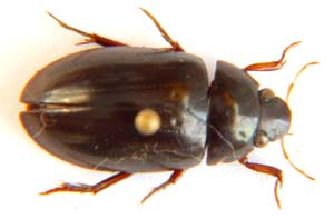 Hydrochara sp. (Water Beetle.)