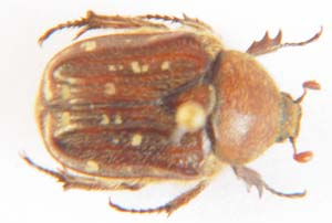 Cetonia sp