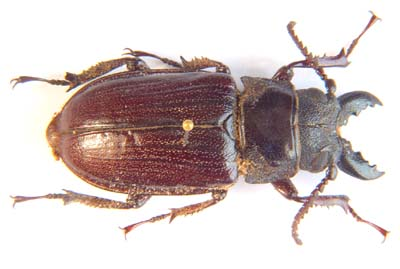 Cantharocnemis pilicipennis