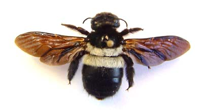 Xylocopa sp.  Carpenter bee (Black & White )