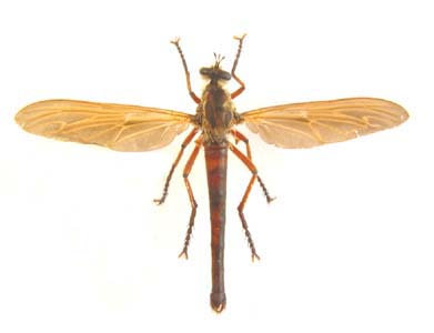 Philodicus sp. Giant Robber fly