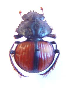 Pachysoma denticolle