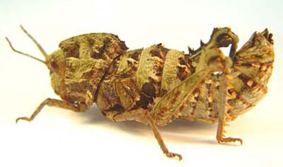 Wingless grasshopper
