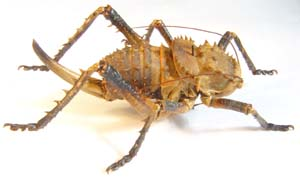 Armoured Corn Cricket.