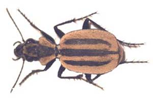Graphipterus sp.