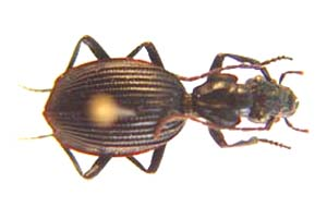 Gonogenia sp