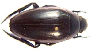 Hyseophilinae sp (Water Beetle)