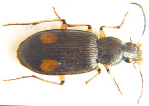 Chlaenius sp. no.02