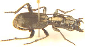 Ground Beetle.