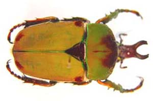 Compsocephalus dmitriewi. Olsufiew.