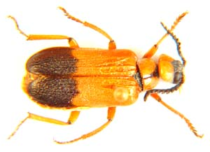 Leaf beetle sp.