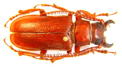 Cantharocnemis