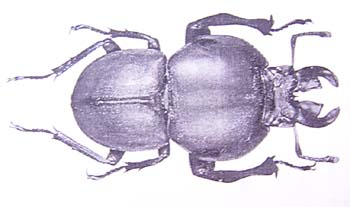 Colophon endroedyi.