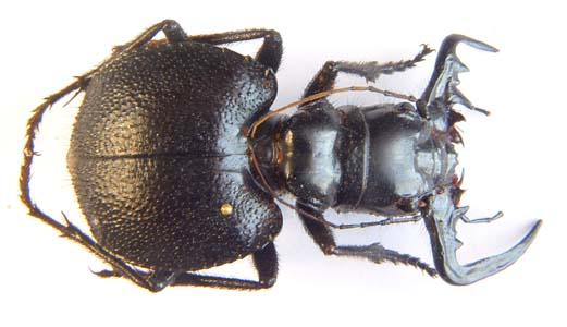 Manticora sp