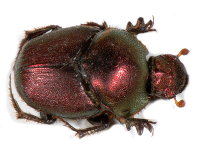 Dung Beetle sp