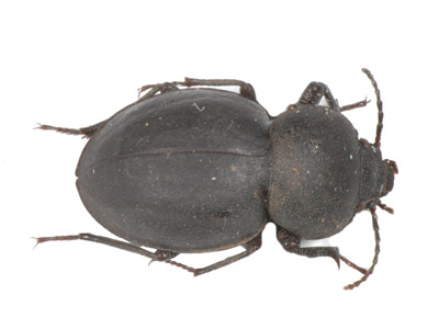 Psammodes sp