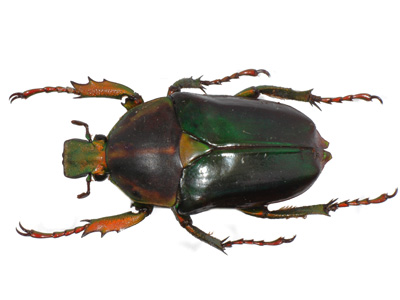 Neptunides polychrous fuscipennis f green.