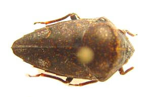 Elvisura sp.  Scutelleridae.